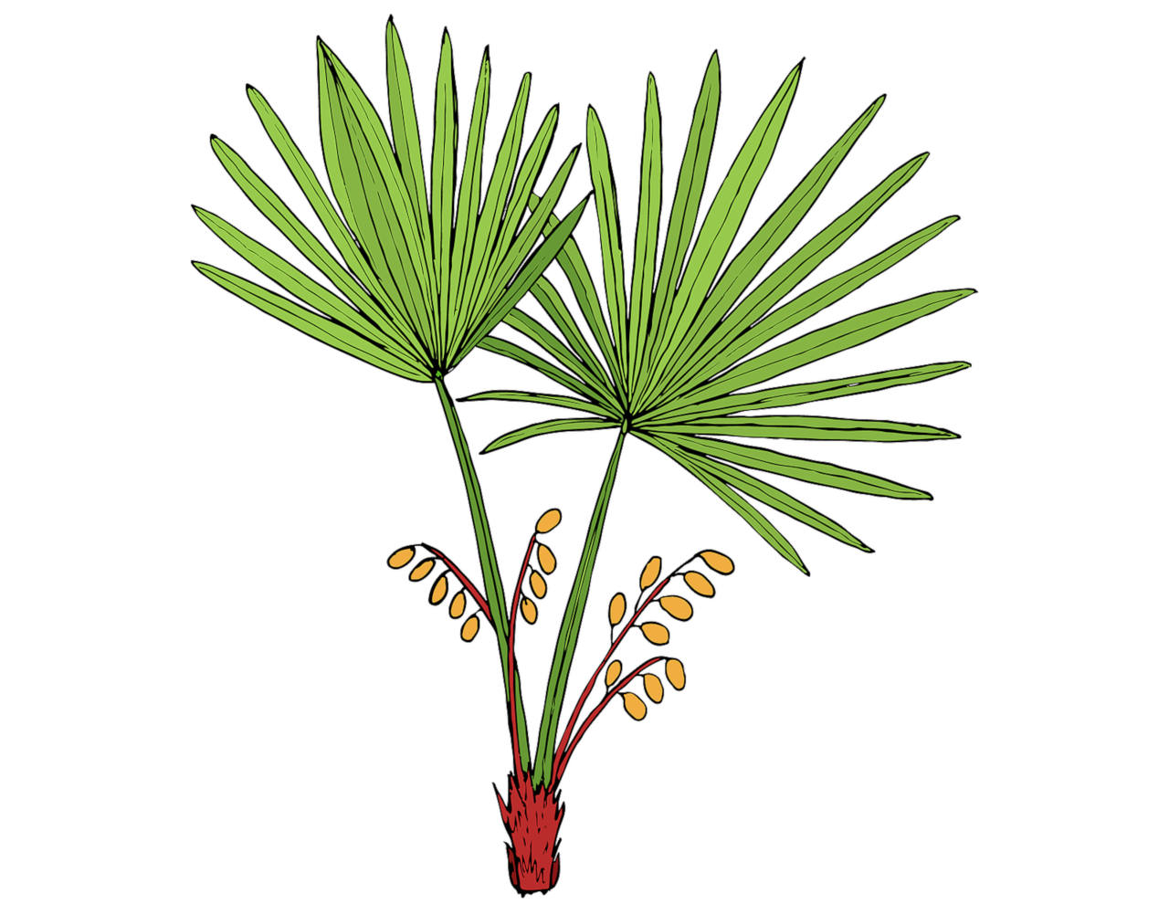 does the saw palmetto plant really helps hair growth
